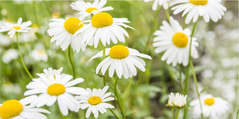 Eat-Chamomile-to-Gain-Weight
