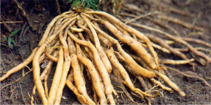 Shatavari-(Asparagus-Racemosus)-to-Gain-Weight
